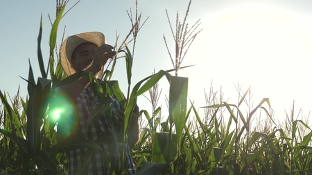 Businessman with tablet checks the corn cobs. a farmer agronomist working in the field, inspect ripening corn cobs. The concept of agricultural business. businessman working in agriculture.