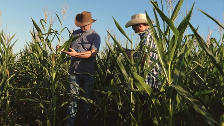 farmer and an agronomist working in field inspect ripening corn cobs. two Businessman with tablet checks ripening of corn cobs. concept of agricultural business. I work as a businessman in agriculture Stock Photo