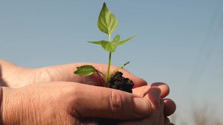 young sprout in hands of the farmer. gardeners hands hold a green seedling in their palms against the sky. sweet pepper sapling close-up. environmentally friendly sprout. ecologically clean planet