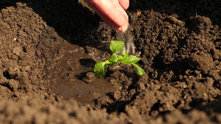 The farmers hand is watering a young green sprout. gardener grows sweet pepper from a sapling and drinks water. Conservation of natural resources. farming concept. close-up