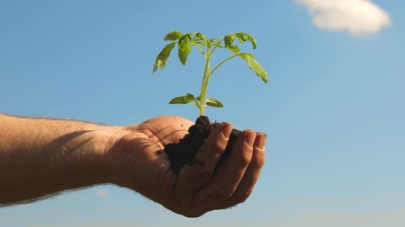 young sprout in hands of farmer. environmentally friendly sprout. tomato seedling in hands closup. environmentally friendly planet. gardeners hands hold green seedling in their palms against sky. Stock Photo
