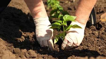 Green sprout planted in the ground with hands in gloves. close-up. cultivation of tomato farmer. Tomato seedlings are planted on the plantation in the spring. Stock Photo