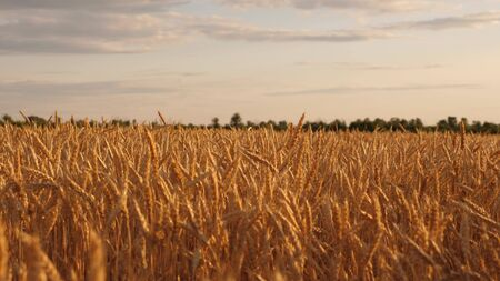 beautiful ears with ripe grain sway in wind. ripe cereal harvest against sky. Beautiful sky with clouds in countryside over a field of wheat. A huge yellow field of wheat in golden rays of sunset.