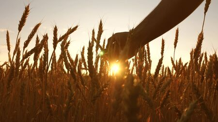 agriculturist inspects a field of ripe wheat. farmers hand touches the ear of wheat at sunset. farmer on a wheat field at sunset. agriculture concept. agricultural business. 版權商用圖片