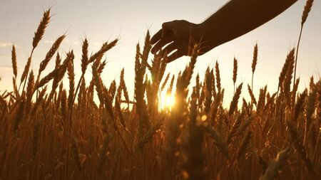 agriculturist inspects a field of ripe wheat. farmers hand touches the ear of wheat at sunset. farmer on a wheat field at sunset. agriculture concept. agricultural business. Imagens