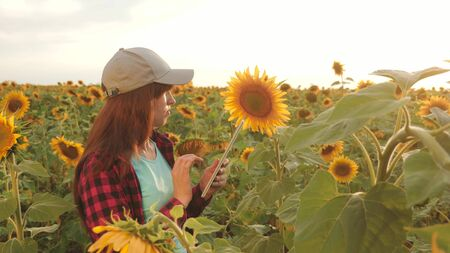 female agronomist is studying flowering of a sunflower. businesswoman in field planning their income. farmer girl working with tablet in sunflower field inspects blooming sunflowers. farming concept