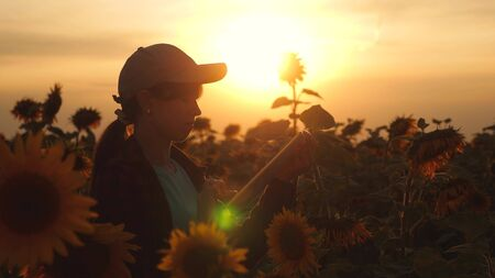 farmer man working with a tablet in a sunflower field in the sunset light. The agronomist studies the crop of a sunflower. concept of farming and agriculture. Banque d'images