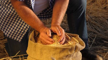 Farmers hands pour wheat grains in a bag with ears. Harvesting cereals. An agronomist looks at the quality of grain. Business man checks the quality of wheat. agriculture concept. close-up.