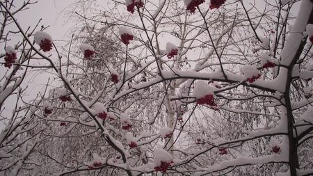 winter viburnum tree with red berries covered with snow. winter christmas park. snow on leafless tree branches. beautiful winter landscape. snow lies on tree branches.