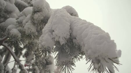 Beautiful winter landscape in the forest. Snow-covered pine branch in a Christmas park in winter. Snow falls on the branches of fir trees.