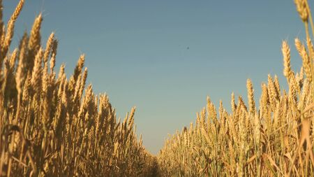 field of ripening wheat against the blue sky. Spikelets of wheat with grain shakes the wind. grain harvest ripens in summer. agricultural business concept. environmentally friendly wheat