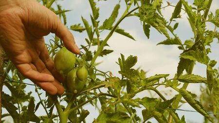 Farmer's hand inspects green tomatoes. green tomatoes ripen on a branch of a bush. gardener checks tomato crop on a farm plantation close-up. Tomato fruit in greenhouse. agricultural business
