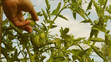 Farmers hand inspects green tomatoes. green tomatoes ripen on a branch of a bush. gardener checks tomato crop on a farm plantation close-up. Tomato fruit in greenhouse. agricultural business Stock Photo