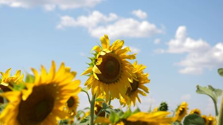 sunflower sways in the wind. Beautiful fields with sunflowers in the summer. Crop of crops ripening in the field. A field of yellow sunflower flowers against a background of clouds.