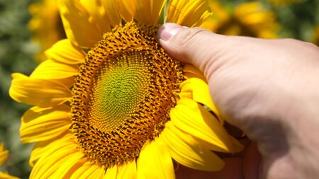 agronomist works in yellow sunflower field. Farmer's hand inspects a blooming sunflower flower. A sunflower sways in the wind. businessman conducts crop analysis. agriculture concept.