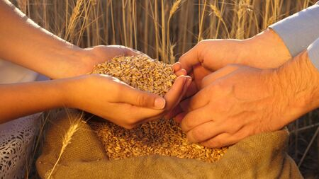 Business people check the quality of wheat. Agriculture concept. agricultural business. farmer s hands pour grain into the field from hand to hand. Agronomist looks at quality of grain.