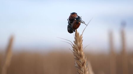 beetle eats and spoils the grain. pest beetle slowly creeping along a ripe spike of wheat in the field. Agriculture. agricultural business. insect control in agriculture.