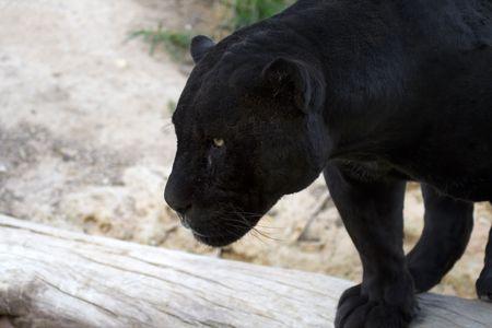 Black jaguar looking for a prey