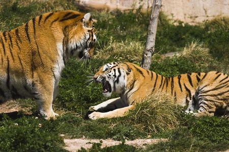 Two tigers fighting or maybe playing Stock Photo