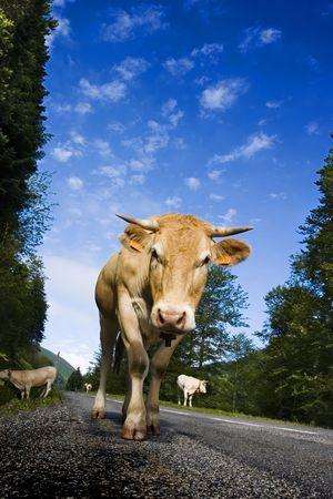 vacas lecheras: Ganado vacuno de leche de vacas caminando en una carretera. La imagen est� tomada en las monta�as de Navarra, en Espa�a. Foto de archivo