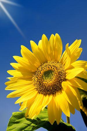 Sky giving a sunbath to a sunflower. photo