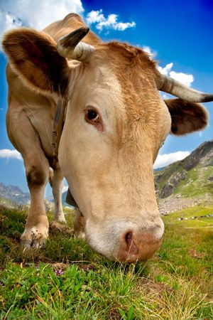 Closeup photo of a cow grazing in a mountain full of grass photo