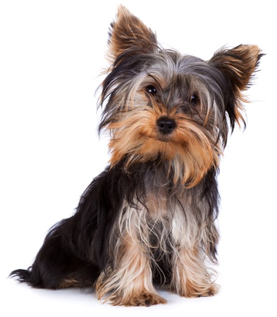 terrier: Yorkshire terrier looking at the camera in a head shot, against a white background