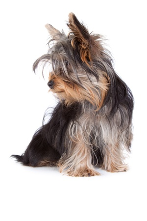 Yorkshire terrier dog looking to the left in an isolated on white portrait