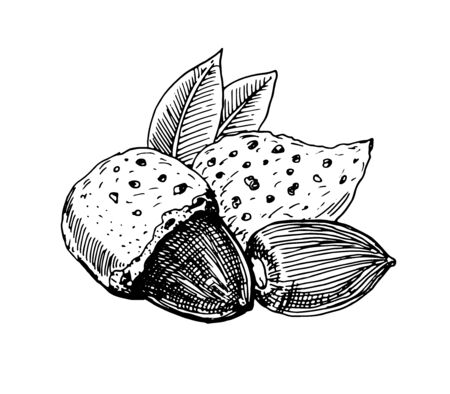 Almond nut, whole nut, shell and kernel of a nut 일러스트