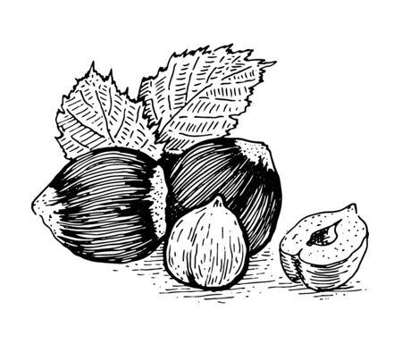 Hazelnuts, whole nut, shell and kernel of a nut. Çizim