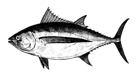 Albacore tuna, fish collection. Healthy lifestyle, delicious food. Hand-drawn images, black and white graphics.