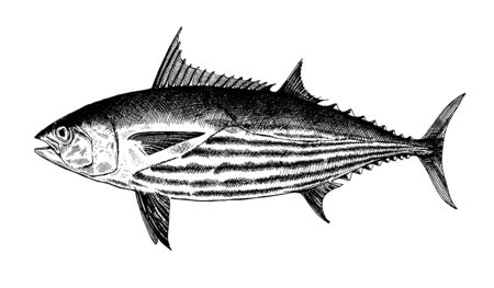 Striped Skipjack tuna, fish collection. Healthy lifestyle, delicious food. Hand-drawn images, black and white graphics.