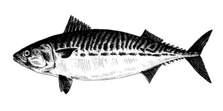 Mackerel, fish collection. Healthy lifestyle, delicious food. Hand-drawn images, black and white graphics.