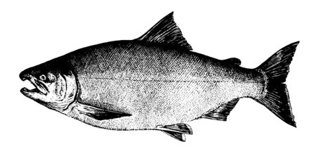 Coho salmon. Fish collection. Healthy lifestyle, delicious food. Hand-drawn images, black and white graphics. Ilustração