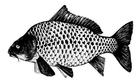 Carp, Karp, Sazan, Cyprinus. Fish collection. Healthy lifestyle, delicious food. Hand-drawn images, black and white graphics.