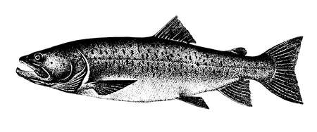 Taimen salmon, Fish collection. Healthy lifestyle, delicious food. Hand-drawn images, black and white graphics.