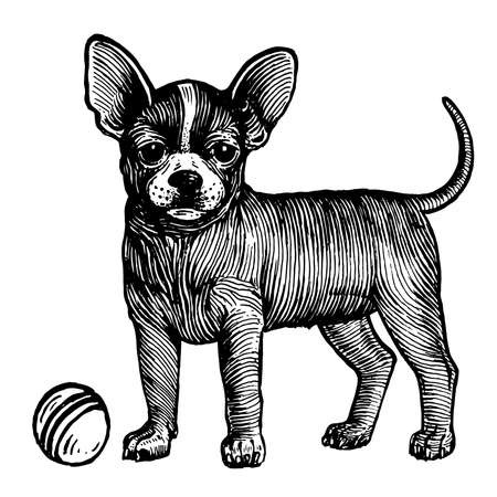 Chihuahua, a dog with a ball, vector illustration. Vintage graphics and handwork. The dog stands near the ball and wants to play with it. Collection of pets.