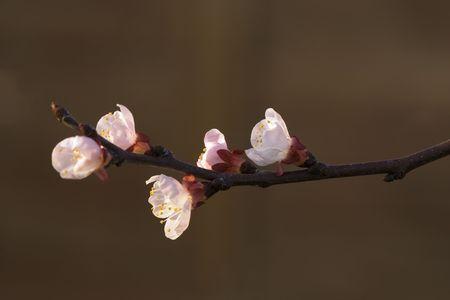 apricot tree: Apricot tree blossom