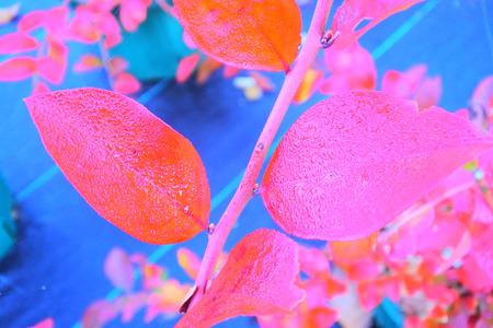 ブルーベリーの葉は、冬の間を葉します。