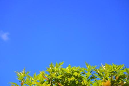 ajenjo: Debajo del cielo azul hoja de ajenjo