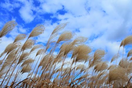 flyaway: Japanese pampas grass waving in the breeze under a blue sky