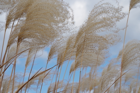 the pampas: Japanese pampas grass waving in the breeze under a blue sky