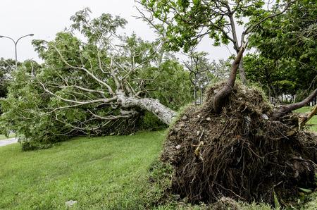 Fallen tree after typhoon Foto de archivo