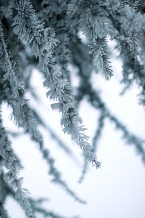 frozenned: Pine tree with snow covered branches in winter Stock Photo