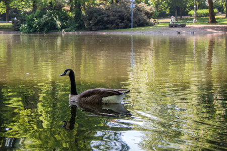 Canadian goose is swimming in a small lake in the park Stock Photo