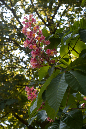 Flowering horse chestnut on a sunny spring day