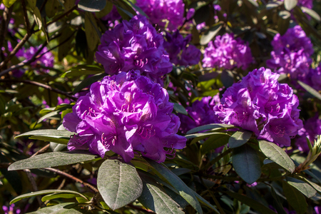 Rhododendron purple flower fresh blooming on the park