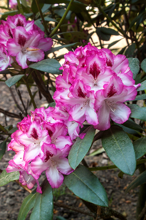 Rhododendron pink flower fresh blooming on the park Stock Photo