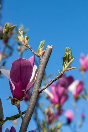 Beautiful purple magnolia flowers in the spring season on the magnolia tree Stock Photo