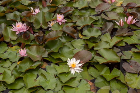 Flowers of water lily in water with leaves on the background